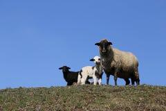 Carneiros da mãe: Cordeiros preto e branco fotos de stock