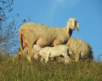 Carneiros da mãe que amamentam seu cordeiro pequeno Imagem de Stock Royalty Free