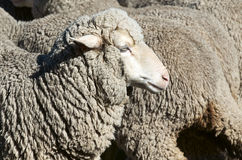 Carneiros da ovelha Imagem de Stock Royalty Free