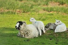 Carneiros da ovelha de Swaledale, e gêmeos Fotografia de Stock Royalty Free