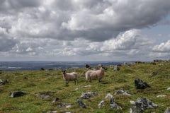 Carneiros Dartmoor Devon England Reino Unido Fotos de Stock Royalty Free