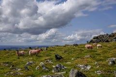 Carneiros Dartmoor Devon England Reino Unido Fotografia de Stock