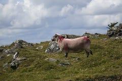 Carneiros Dartmoor Devon England Reino Unido Imagem de Stock Royalty Free