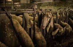 Carneiros de alimentação em uma exploração agrícola foto de stock