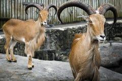 Carneiros de Barbary no captiveiro do jardim zoológico Imagem de Stock Royalty Free