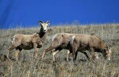 Carneiros de Bighorn imagem de stock