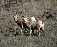 Carneiros de Bighorn imagens de stock royalty free