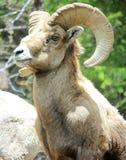 Carneiros de Bighorn Fotos de Stock Royalty Free