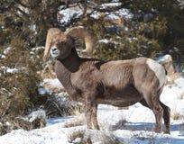 Carneiros de Bighorn Fotografia de Stock Royalty Free
