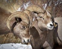 Carneiros de Bighorn Foto de Stock