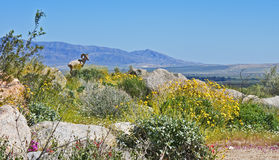 Carneiros de Bighorn, Califórnia Foto de Stock Royalty Free