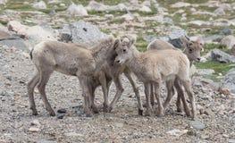 Carneiros de Bighorn do bebê no Mt Evans em Colorado imagem de stock royalty free