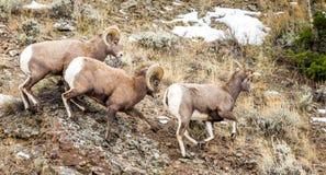 Carneiros de Bighorn durante a rotina Foto de Stock Royalty Free