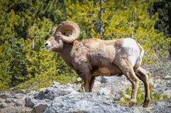 Carneiros de Bighorn em Alberta, Canadá Fotografia de Stock