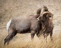 Carneiros de Bighorn em Colorado Fotos de Stock