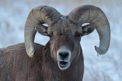 Carneiros de Bighorn em Colorado Foto de Stock