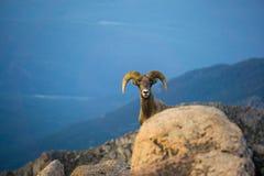 Carneiros de Bighorn em montanhas de Colorado fotos de stock