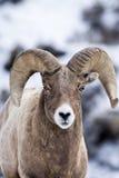 Carneiros de Bighorn na neve Foto de Stock