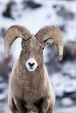 Carneiros de Bighorn na neve Fotos de Stock Royalty Free