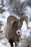 Carneiros de Bighorn na neve Imagens de Stock Royalty Free
