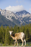 Carneiros de Bighorn nas montanhas rochosas foto de stock royalty free