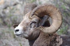 Carneiros de Bighorn nas Montanhas Rochosas canadenses Imagem de Stock Royalty Free
