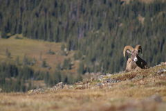 Carneiros de Bighorn no parque nacional de montanha rochosa Foto de Stock Royalty Free