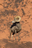 Carneiros de Bighorn Ram Head On do deserto Foto de Stock