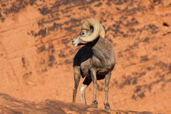 Carneiros de Bighorn Ram Looking Back do deserto Foto de Stock Royalty Free