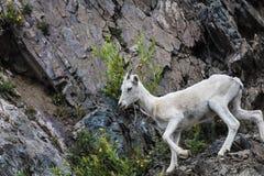 Carneiros de Dall Alaska fotografia de stock royalty free