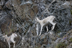 Carneiros de Dall Alaska imagem de stock
