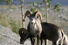 Carneiros de Dall Bull Imagens de Stock