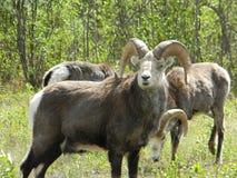 Carneiros de Dall em Alaska fotos de stock
