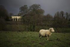 Carneiros de Dorset Fotografia de Stock Royalty Free