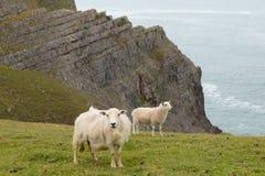 Carneiros de Galês a baía de Mewslade da costa de Gower Foto de Stock