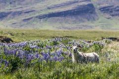 Carneiros de Hardy Icelandic que pastam o pasto com o tremoceiro dos Lupines de Nootka imagens de stock