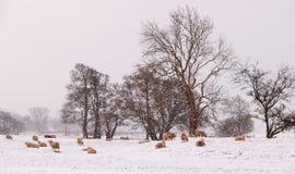Carneiros de Lakeland no inverno Fotos de Stock