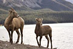 Carneiros de montanha rochosa Fotografia de Stock Royalty Free