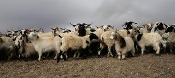 Carneiros de montanha tibetanos Fotografia de Stock Royalty Free
