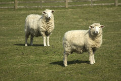 Carneiros de Romney Imagem de Stock