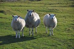 Carneiros de Saltmarsh em tocas de Northam Fotos de Stock Royalty Free