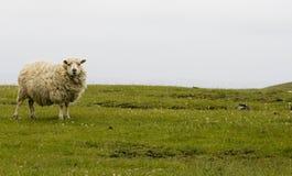Carneiros de Shetland foto de stock