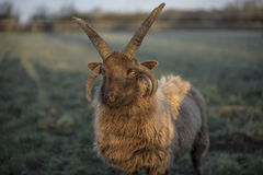 Carneiros de Shetland Fotos de Stock
