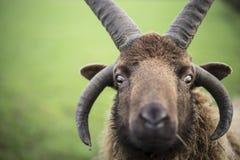 Carneiros de Shetland Foto de Stock Royalty Free