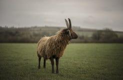 Carneiros de Shetland Fotografia de Stock