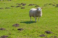 Carneiros de Texel no campo de grama luxúria (1) Foto de Stock