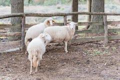 Carneiros dentro da cerca Fotografia de Stock
