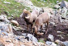 Carneiros do Big Horn no selvagem Fotografia de Stock Royalty Free