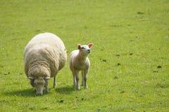 Carneiros do cordeiro e da ovelha fotografia de stock