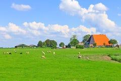 Carneiros e aves domésticas que pastam em um prado Imagens de Stock